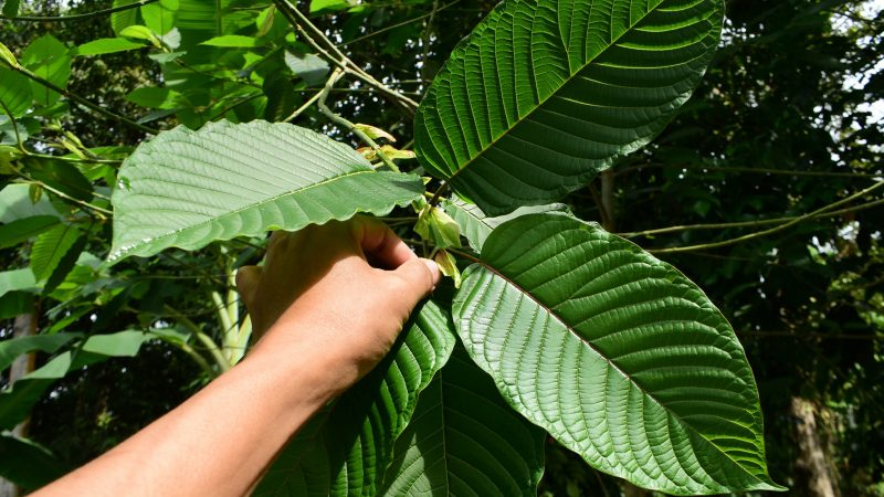 How Can Kratom So Effective And Valuable?
